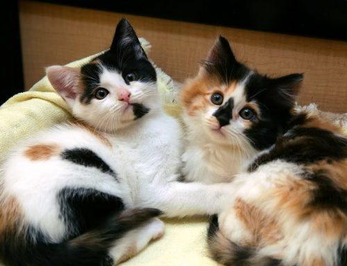 Mèo tam thể vào nhà là điềm lành hay gở?